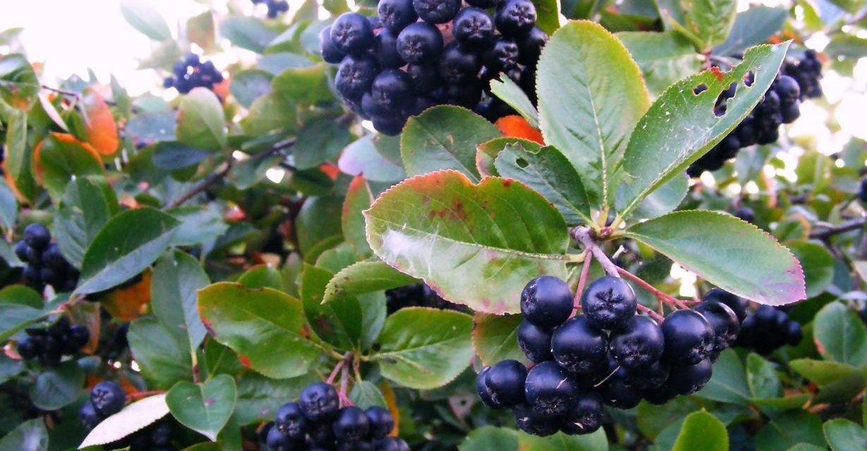 Aronija – štiti od bolesti i pomlađuje organizam